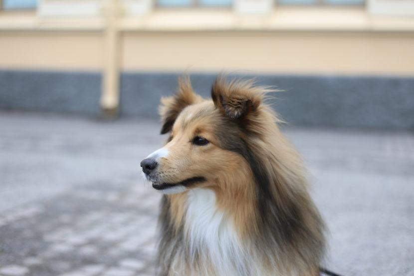 seppo koira tuijottelu